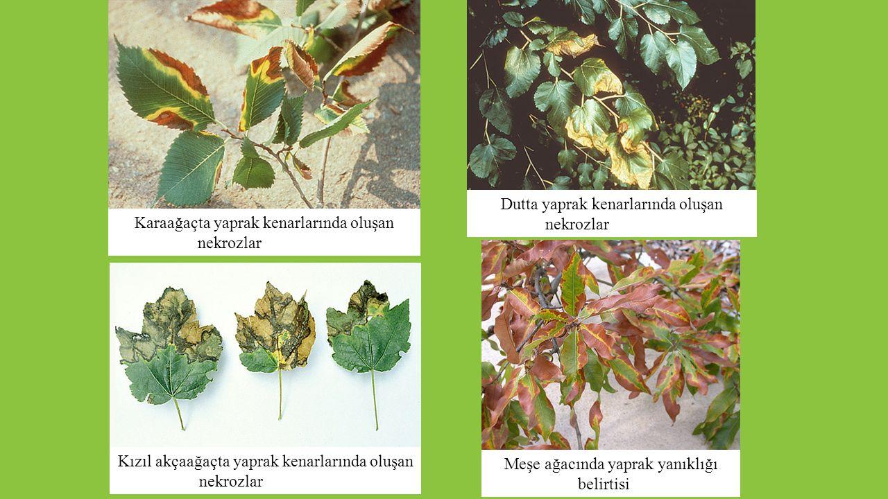 Karaağaçta yaprak kenarlarında oluşan nekrozlar Kızıl akçaağaçta yaprak kenarlarında oluşan nekrozlar Dutta yaprak kenarlarında oluşan nekrozlar Meşe