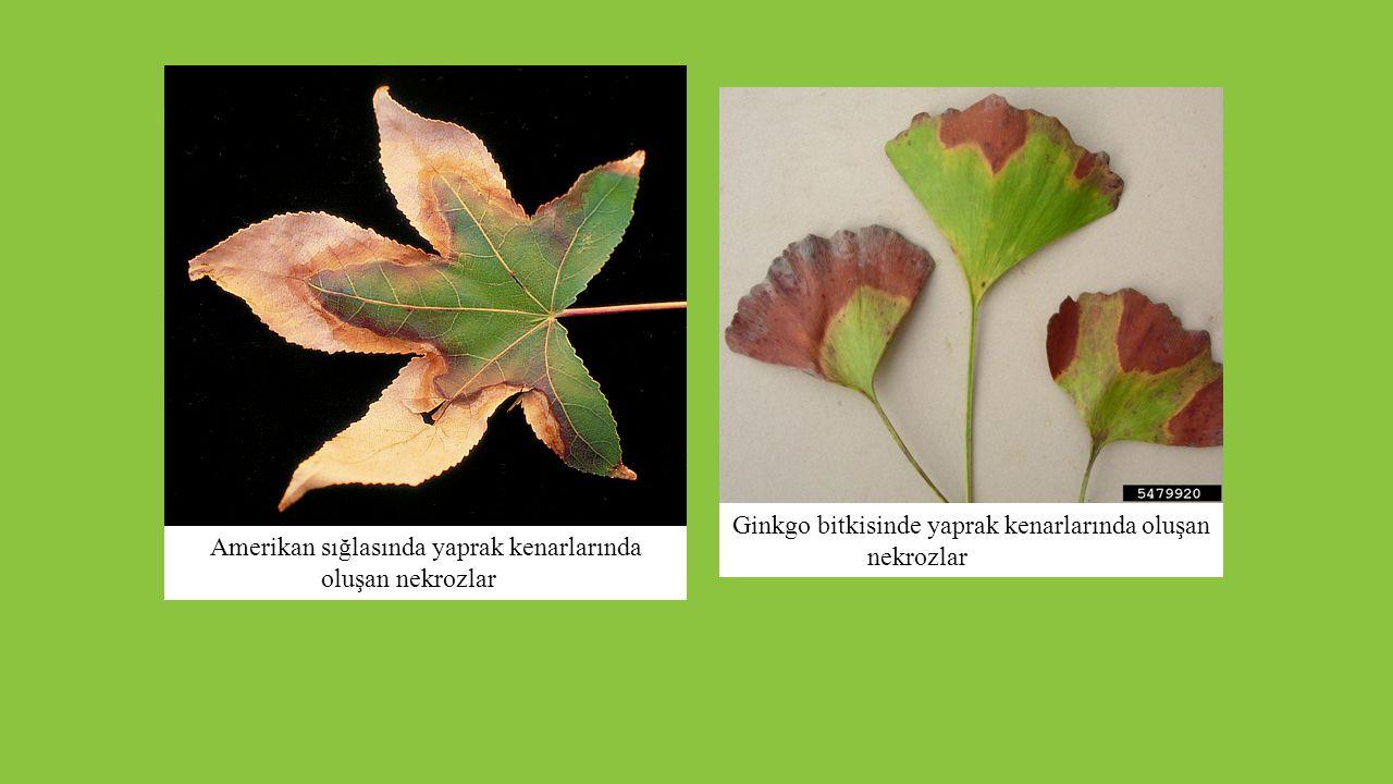 Amerikan sığlasında yaprak kenarlarında oluşan nekrozlar Ginkgo bitkisinde yaprak kenarlarında oluşan nekrozlar