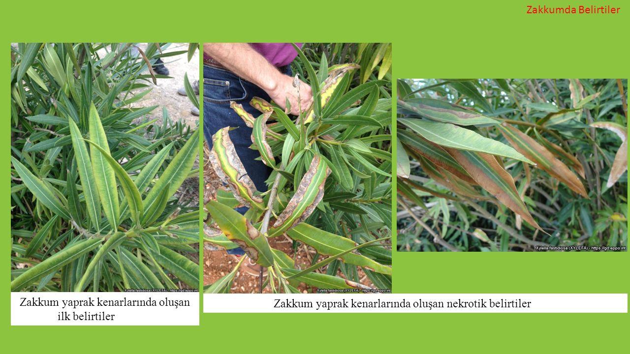 Zakkumda Belirtiler Zakkum yaprak kenarlarında oluşan ilk belirtiler Zakkum yaprak kenarlarında oluşan nekrotik belirtiler