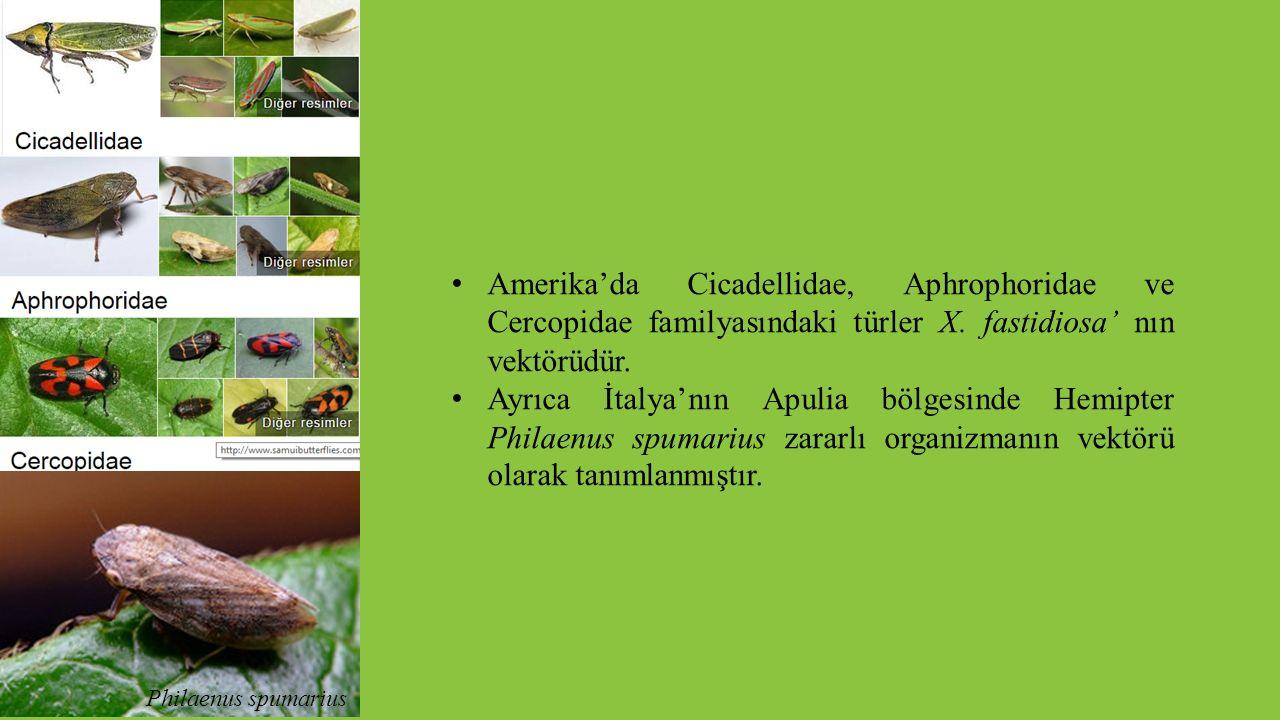 Amerika'da Cicadellidae, Aphrophoridae ve Cercopidae familyasındaki türler X. fastidiosa' nın vektörüdür. Ayrıca İtalya'nın Apulia bölgesinde Hemipter