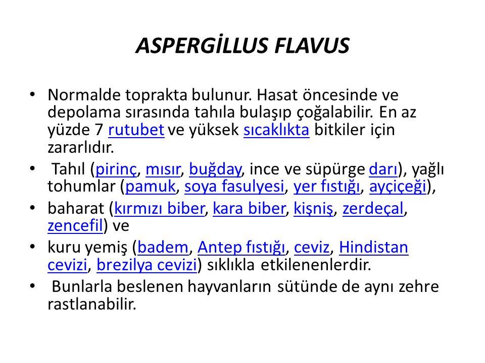 ASPERGİLLUS FLAVUS Normalde toprakta bulunur.