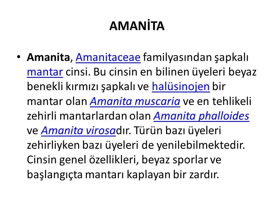 AMANİTA Amanita, Amanitaceae familyasından şapkalı mantar cinsi.