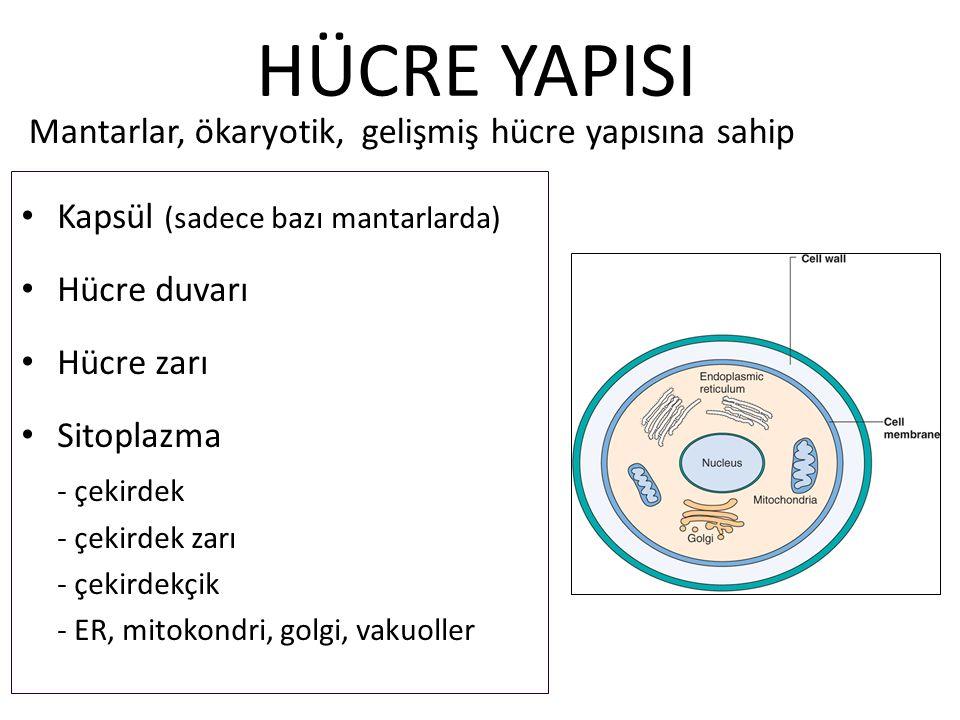 HÜCRE YAPISI Kapsül (sadece bazı mantarlarda) Hücre duvarı Hücre zarı Sitoplazma - çekirdek - çekirdek zarı - çekirdekçik - ER, mitokondri, golgi, vakuoller Mantarlar, ökaryotik, gelişmiş hücre yapısına sahip