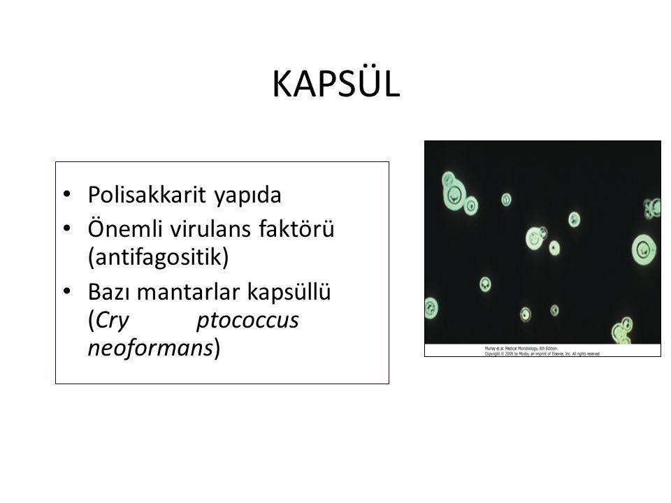 KAPSÜL Polisakkarit yapıda Önemli virulans faktörü (antifagositik) Bazı mantarlar kapsüllü (Cryptococcus neoformans)