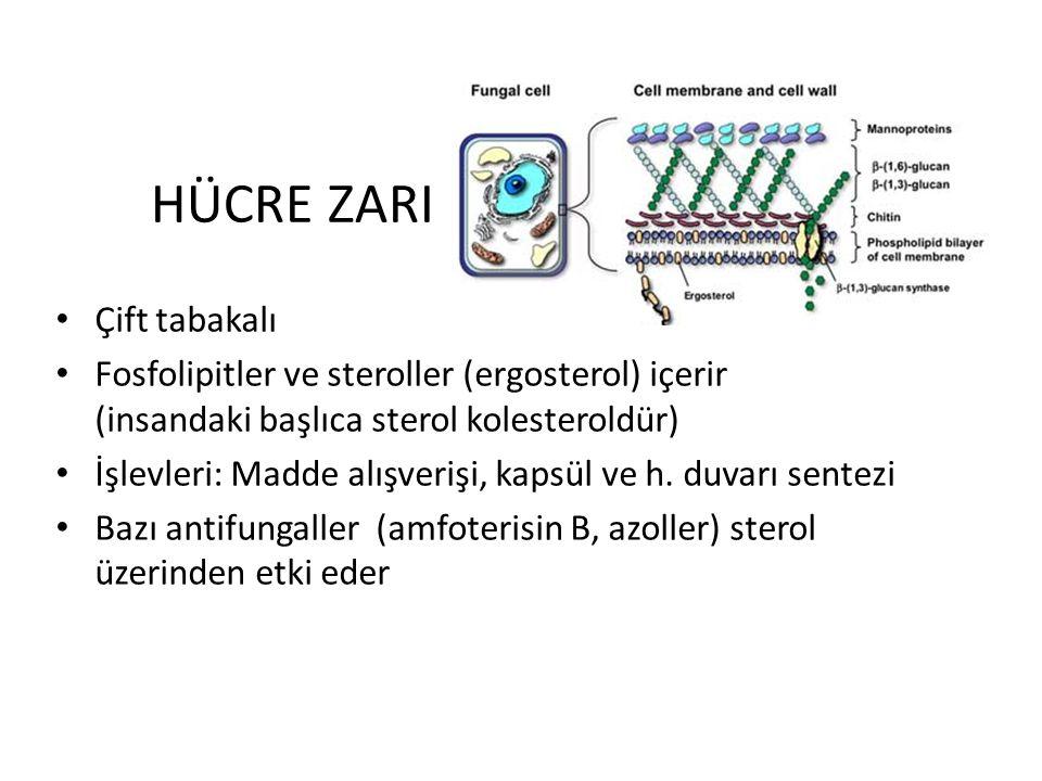 HÜCRE ZARI Çift tabakalı Fosfolipitler ve steroller (ergosterol) içerir (insandaki başlıca sterol kolesteroldür) İşlevleri: Madde alışverişi, kapsül ve h.
