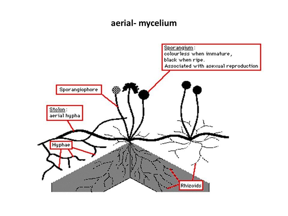 aerial- mycelium