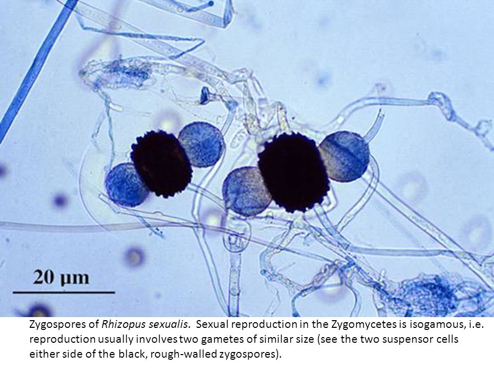 Zygospores of Rhizopus sexualis. Sexual reproduction in the Zygomycetes is isogamous, i.e. reproduction usually involves two gametes of similar size (