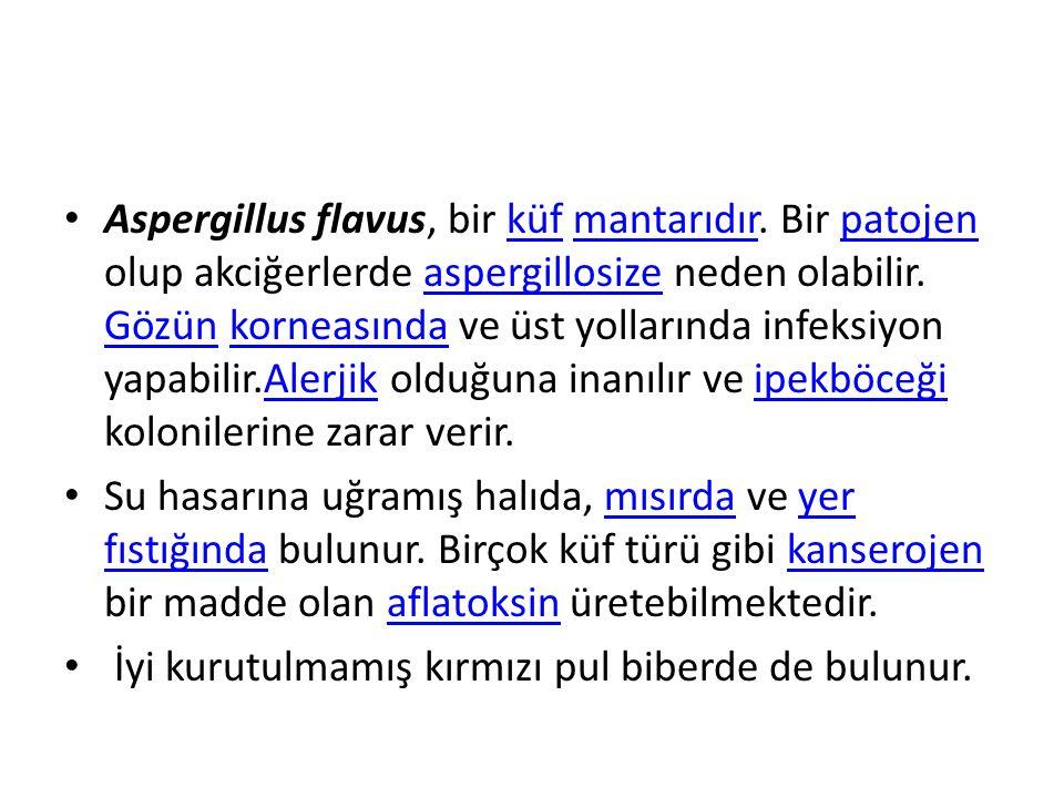 Aspergillus flavus, bir küf mantarıdır.