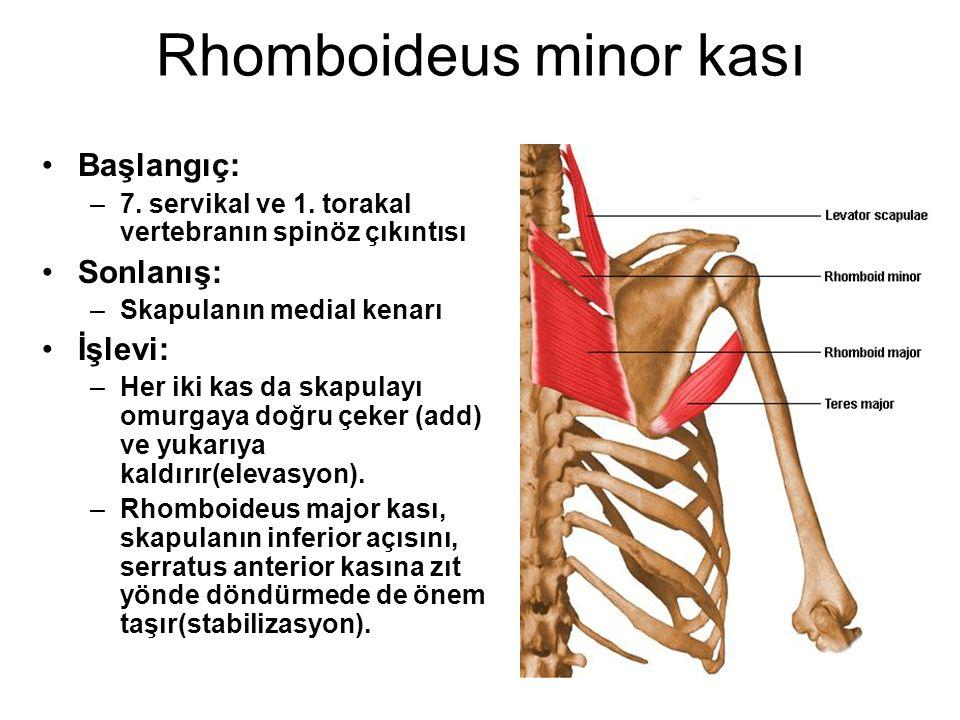 Rhomboideus minor kası Başlangıç: –7. servikal ve 1. torakal vertebranın spinöz çıkıntısı Sonlanış: –Skapulanın medial kenarı İşlevi: –Her iki kas da