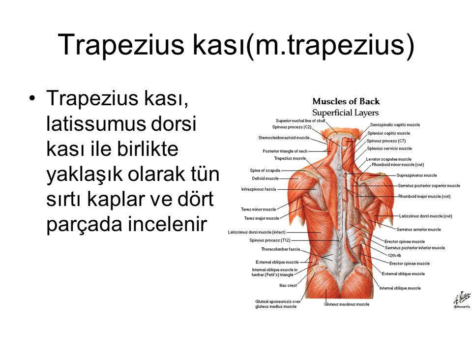 Trapezius kası(m.trapezius) Trapezius kası, latissumus dorsi kası ile birlikte yaklaşık olarak tün sırtı kaplar ve dört parçada incelenir