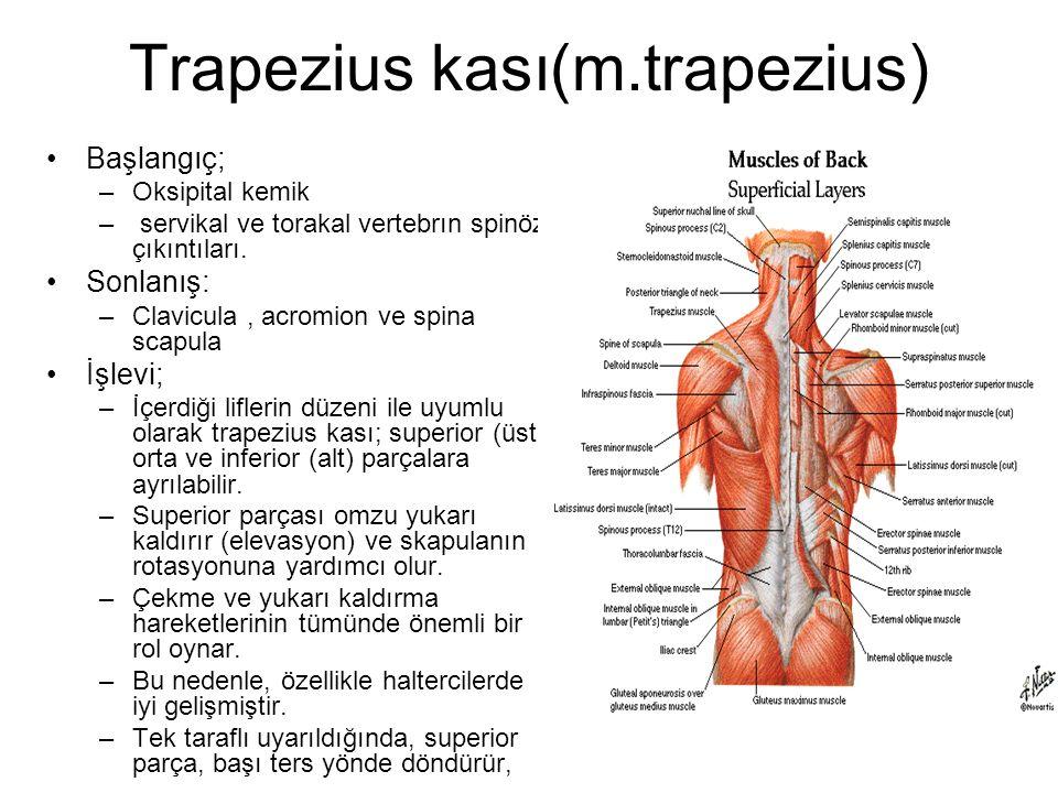 Trapezius kası(m.trapezius) Başlangıç; –Oksipital kemik – servikal ve torakal vertebrın spinöz çıkıntıları. Sonlanış: –Clavicula, acromion ve spina sc