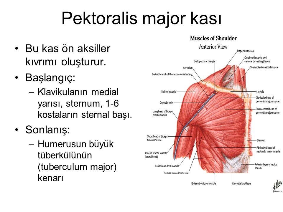 Pektoralis major kası Bu kas ön aksiller kıvrımı oluşturur. Başlangıç: –Klavikulanın medial yarısı, sternum, 1-6 kostaların sternal başı. Sonlanış: –H