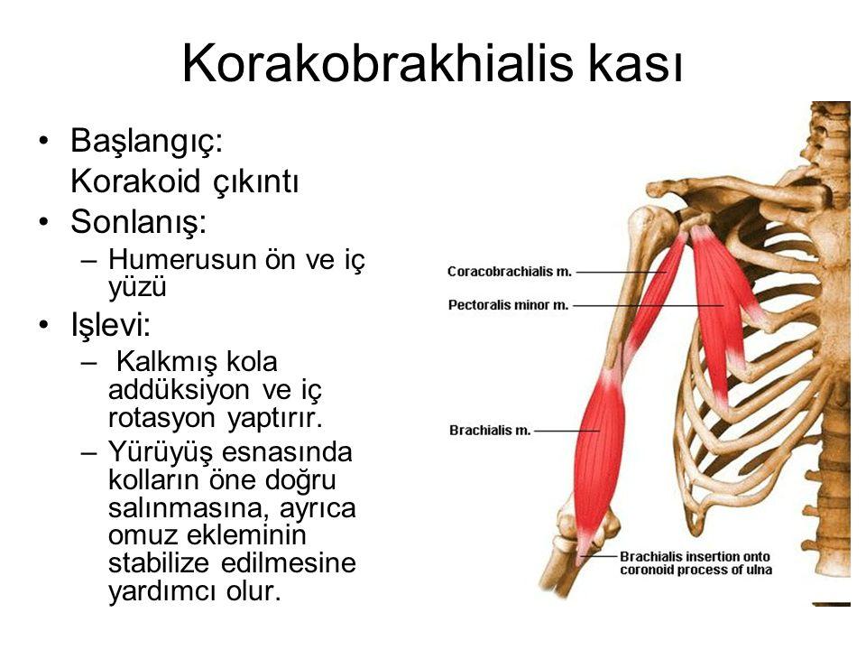 Korakobrakhialis kası Başlangıç: Korakoid çıkıntı Sonlanış: –Humerusun ön ve iç yüzü Işlevi: – Kalkmış kola addüksiyon ve iç rotasyon yaptırır. –Yürüy