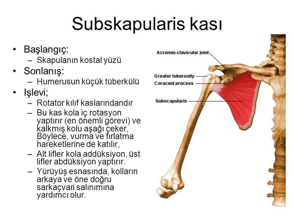 Subskapularis kası Başlangıç: –Skapulanın kostal yüzü Sonlanış: –Humerusun küçük tüberkülü Işlevi; –Rotator kılıf kaslarındandır –Bu kas kola iç rotas