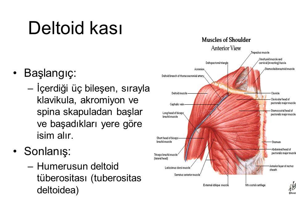 Deltoid kası Başlangıç: –İçerdiği üç bileşen, sırayla klavikula, akromiyon ve spina skapuladan başlar ve başadıkları yere göre isim alır. Sonlanış: –H