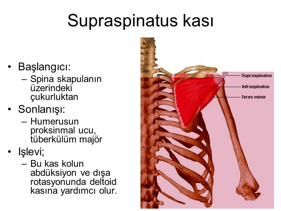 Supraspinatus kası Başlangıcı: –Spina skapulanın üzerindeki çukurluktan Sonlanışı: –Humerusun proksinmal ucu, tüberkülüm majör Işlevi; –Bu kas kolun a