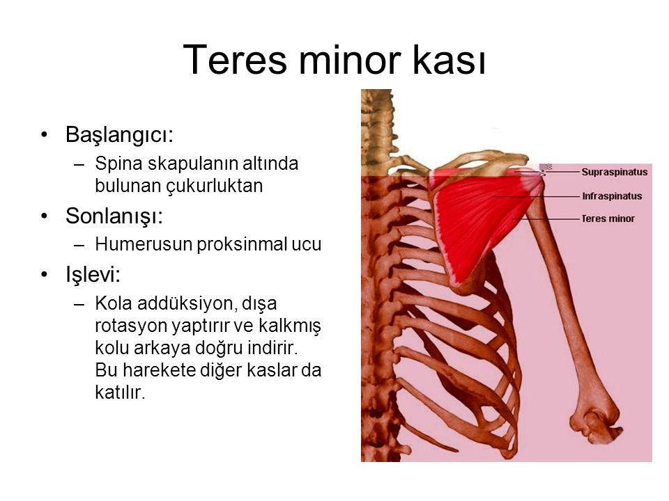 Teres minor kası Başlangıcı: –Spina skapulanın altında bulunan çukurluktan Sonlanışı: –Humerusun proksinmal ucu Işlevi: –Kola addüksiyon, dışa rotasyo