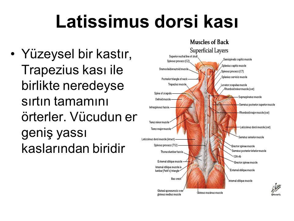 Latissimus dorsi kası Yüzeysel bir kastır, Trapezius kası ile birlikte neredeyse sırtın tamamını örterler. Vücudun en geniş yassı kaslarından biridir