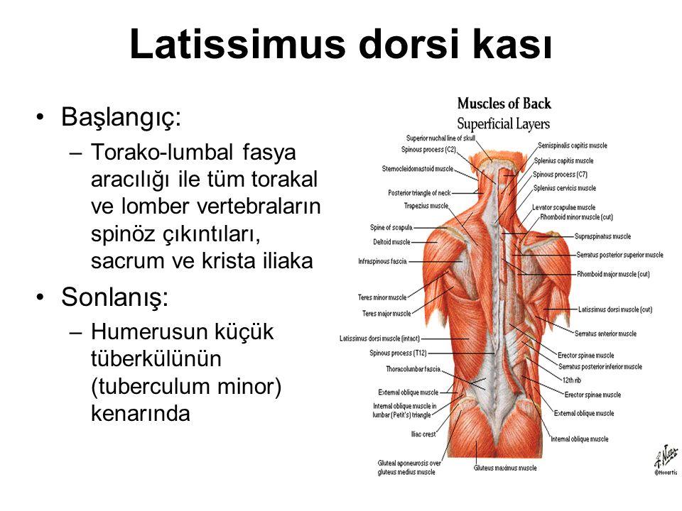 Latissimus dorsi kası Başlangıç: –Torako-lumbal fasya aracılığı ile tüm torakal ve lomber vertebraların spinöz çıkıntıları, sacrum ve krista iliaka So