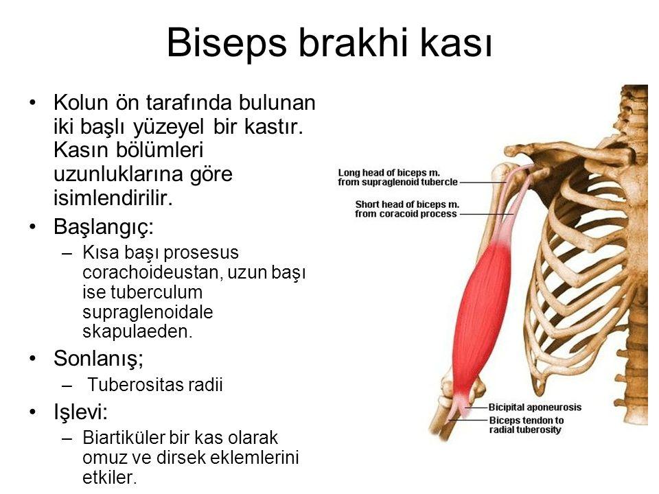 Biseps brakhi kası Kolun ön tarafında bulunan iki başlı yüzeyel bir kastır. Kasın bölümleri uzunluklarına göre isimlendirilir. Başlangıç: –Kısa başı p