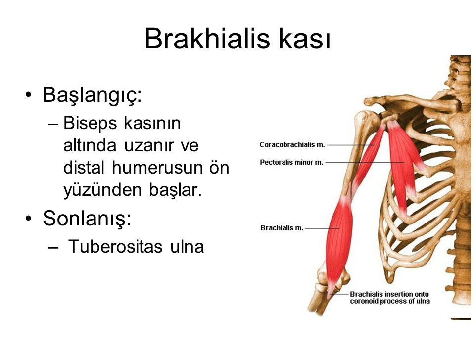 Brakhialis kası Başlangıç: –Biseps kasının altında uzanır ve distal humerusun ön yüzünden başlar. Sonlanış: – Tuberositas ulna
