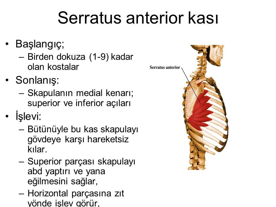 Serratus anterior kası Başlangıç; –Birden dokuza (1-9) kadar olan kostalar Sonlanış: –Skapulanın medial kenarı; superior ve inferior açıları İşlevi: –