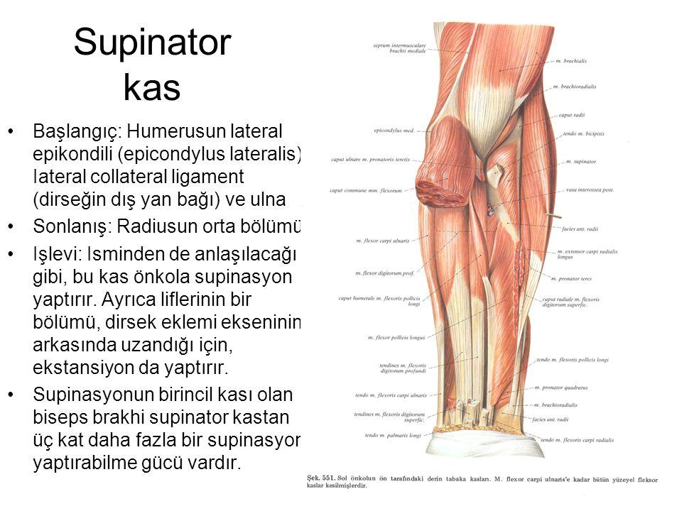 Supinator kas Başlangıç: Humerusun lateral epikondili (epicondylus lateralis), Iateral collateral ligament (dirseğin dış yan bağı) ve ulna Sonlanış: R