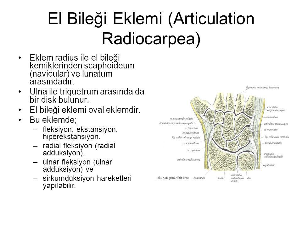 El Bileği Eklemi (Articulation Radiocarpea) Eklem radius ile el bileği kemiklerinden scaphoideum (navicular) ve lunatum arasındadır. Ulna ile triquetr