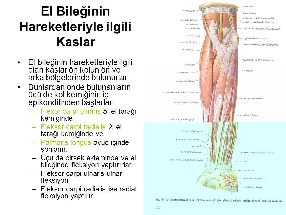 El Bileğinin Hareketleriyle ilgili Kaslar EI bileğinin hareketleriyle ilgili olan kaslar ön kolun ön ve arka bölgelerinde bulunurlar. Bunlardan önde b