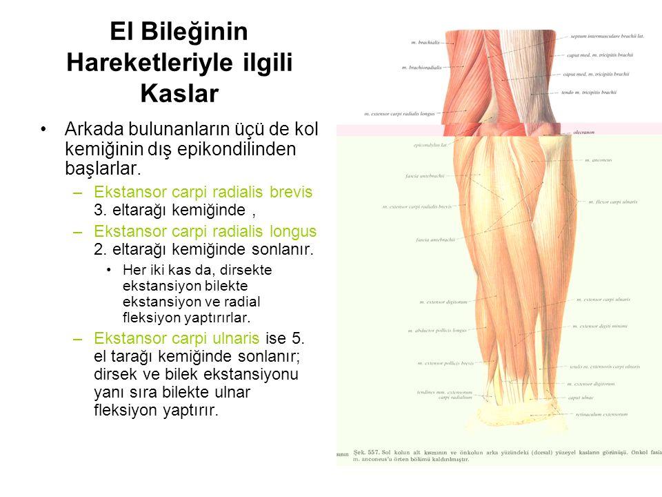 El Bileğinin Hareketleriyle ilgili Kaslar Arkada bulunanların üçü de kol kemiğinin dış epikondilinden başlarlar. –Ekstansor carpi radialis brevis 3. e