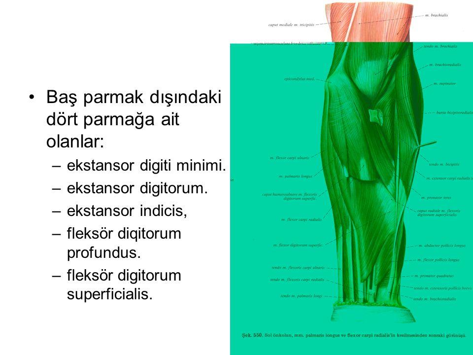 Baş parmak dışındaki dört parmağa ait olanlar: –ekstansor digiti minimi. –ekstansor digitorum. –ekstansor indicis, –fleksör diqitorum profundus. –flek