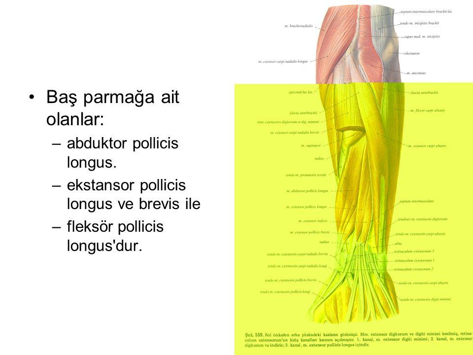 Baş parmağa ait olanlar: –abduktor pollicis longus. –ekstansor pollicis longus ve brevis ile –fleksör pollicis longus'dur.