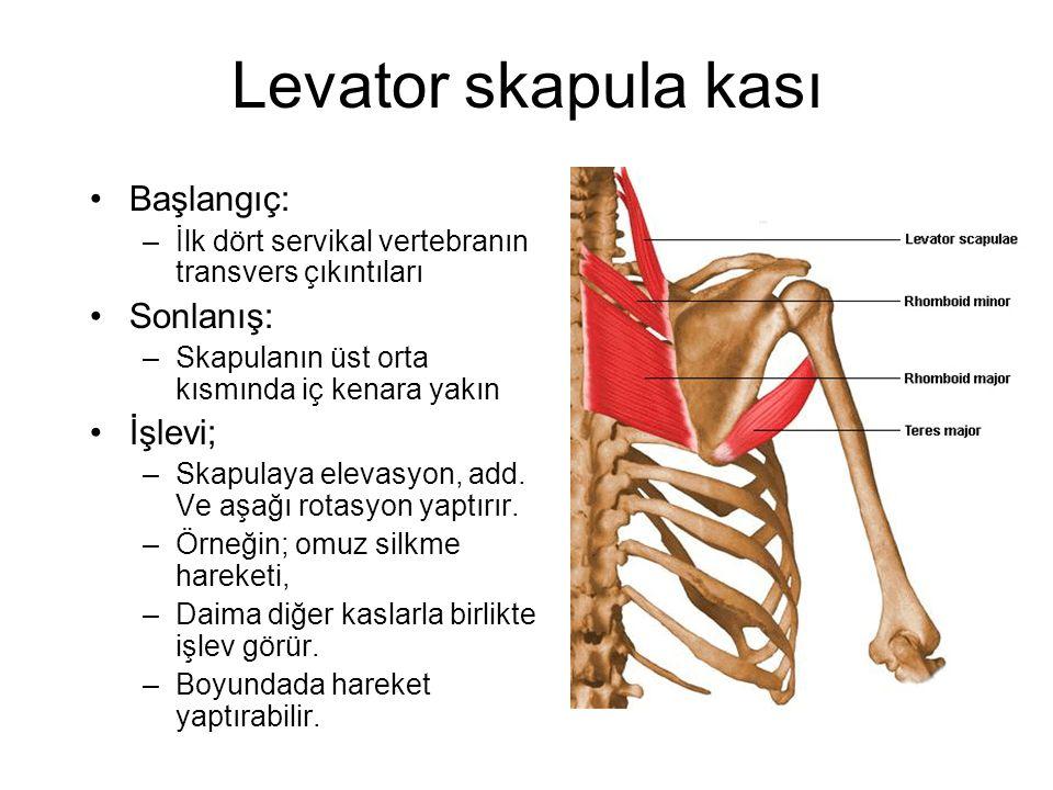 Levator skapula kası Başlangıç: –İlk dört servikal vertebranın transvers çıkıntıları Sonlanış: –Skapulanın üst orta kısmında iç kenara yakın İşlevi; –