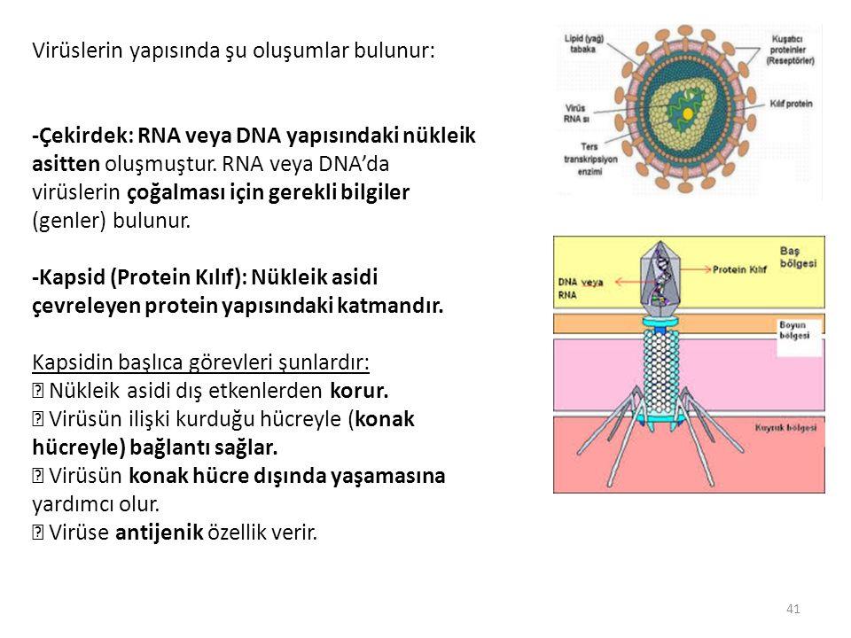 Virüslerin yapısında şu oluşumlar bulunur: -Çekirdek: RNA veya DNA yapısındaki nükleik asitten oluşmuştur. RNA veya DNA'da virüslerin çoğalması için g