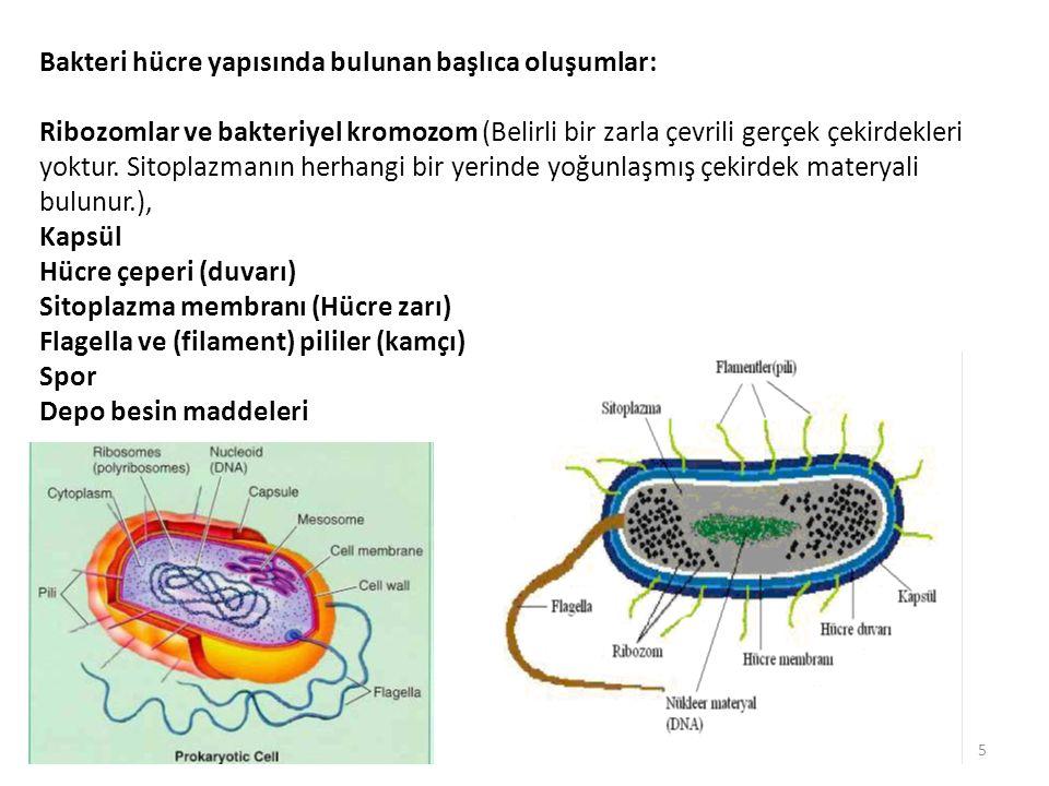 Bakteri hücre yapısında bulunan başlıca oluşumlar: Ribozomlar ve bakteriyel kromozom (Belirli bir zarla çevrili gerçek çekirdekleri yoktur.