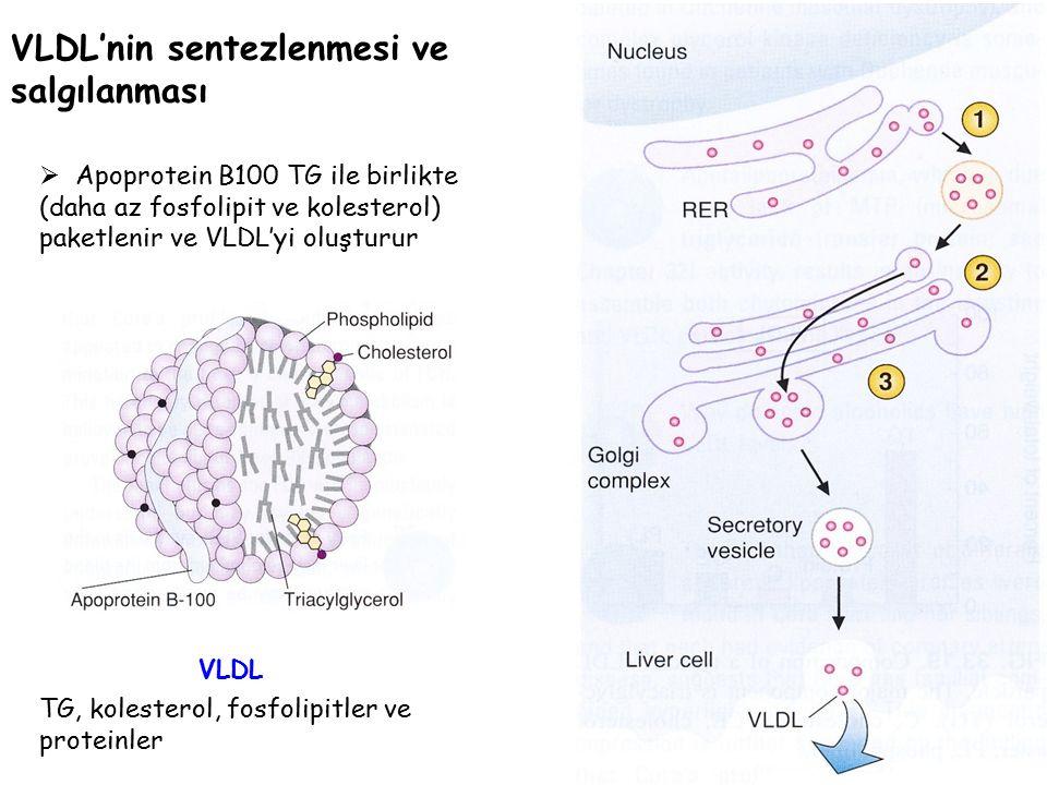 VLDL'nin sentezlenmesi ve salgılanması  Apoprotein B100 TG ile birlikte (daha az fosfolipit ve kolesterol) paketlenir ve VLDL'yi oluşturur TG, kolesterol, fosfolipitler ve proteinler VLDL