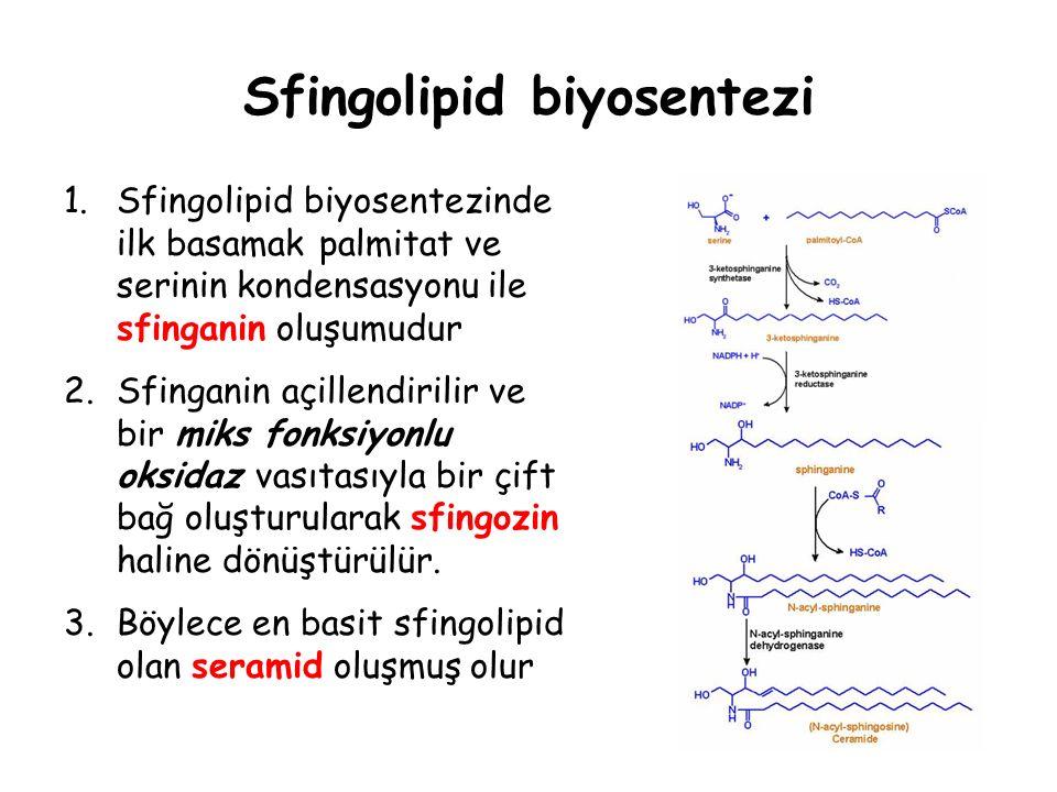 Sfingolipid biyosentezi 1.Sfingolipid biyosentezinde ilk basamak palmitat ve serinin kondensasyonu ile sfinganin oluşumudur 2.Sfinganin açillendirilir ve bir miks fonksiyonlu oksidaz vasıtasıyla bir çift bağ oluşturularak sfingozin haline dönüştürülür.