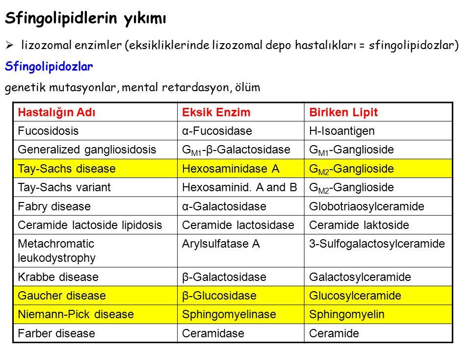 Sfingolipidlerin yıkımı  lizozomal enzimler (eksikliklerinde lizozomal depo hastalıkları = sfingolipidozlar) Sfingolipidozlar genetik mutasyonlar, mental retardasyon, ölüm Hastalığın AdıEksik EnzimBiriken Lipit Fucosidosisα-FucosidaseH-Isoantigen Generalized gangliosidosisG M1 -β-GalactosidaseG M1 -Ganglioside Tay-Sachs diseaseHexosaminidase AG M2 -Ganglioside Tay-Sachs variantHexosaminid.