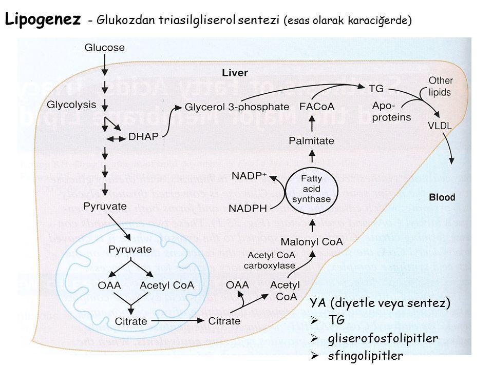 YA (diyetle veya sentez)  TG  gliserofosfolipitler  sfingolipitler Lipogenez - Glukozdan triasilgliserol sentezi (esas olarak karaciğerde)