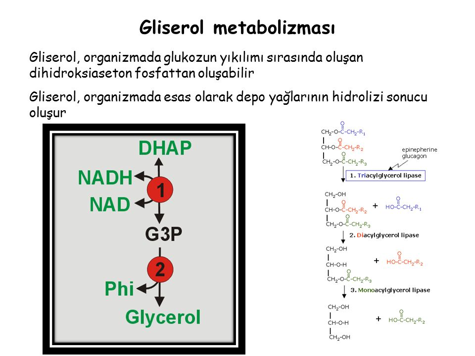Gliserol, organizmada glukozun yıkılımı sırasında oluşan dihidroksiaseton fosfattan oluşabilir Gliserol, organizmada esas olarak depo yağlarının hidrolizi sonucu oluşur Gliserol metabolizması