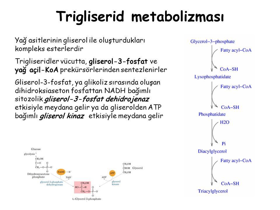 Trigliserid metabolizması Yağ asitlerinin gliserol ile oluşturdukları kompleks esterlerdir Trigliseridler vücutta, gliserol-3-fosfat ve yağ açil-KoA prekürsörlerinden sentezlenirler Gliserol-3-fosfat, ya glikoliz sırasında oluşan dihidroksiaseton fosfattan NADH bağımlı sitozolik gliserol-3-fosfat dehidrojenaz etkisiyle meydana gelir ya da gliserolden ATP bağımlı gliserol kinaz etkisiyle meydana gelir