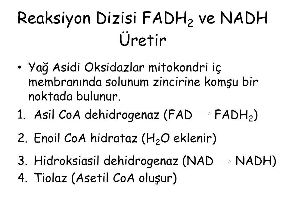 Reaksiyon Dizisi FADH 2 ve NADH Üretir Yağ Asidi Oksidazlar mitokondri iç membranında solunum zincirine komşu bir noktada bulunur. 1.Asil CoA dehidrog
