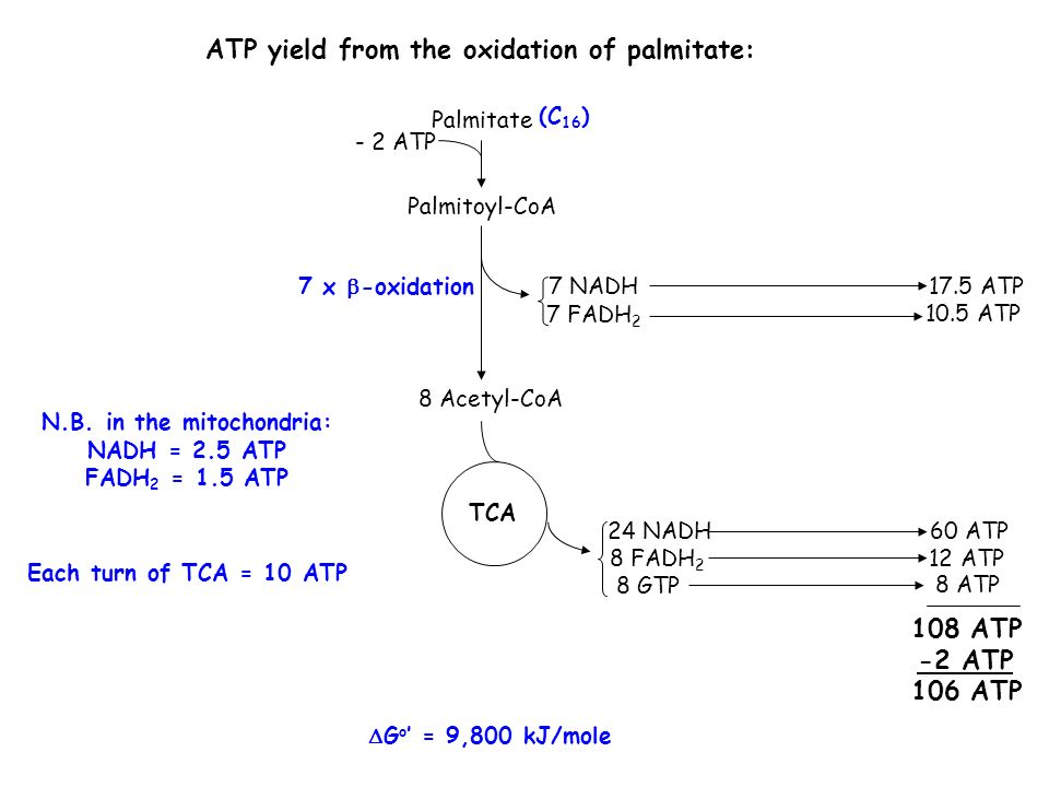 ATP yield from the oxidation of palmitate: Palmitoyl-CoA 8 Acetyl-CoA 24 NADH 8 FADH 2 TCA 8 GTP 8 ATP 60 ATP 12 ATP 108 ATP -2 ATP 106 ATP 7 NADH 7 FADH 2 10.5 ATP 17.5 ATP Palmitate - 2 ATP N.B.
