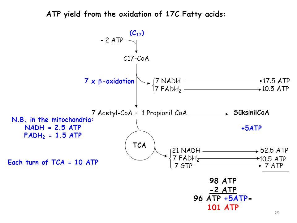29 ATP yield from the oxidation of 17C Fatty acids: C17-CoA 7 Acetyl-CoA + 1 Propionil CoA 21 NADH 7 FADH 2 TCA 7 GTP 7 ATP 52.5 ATP 10.5 ATP 98 ATP -2 ATP 96 ATP +5ATP= 101 ATP 7 NADH 7 FADH 2 10.5 ATP 17.5 ATP - 2 ATP N.B.