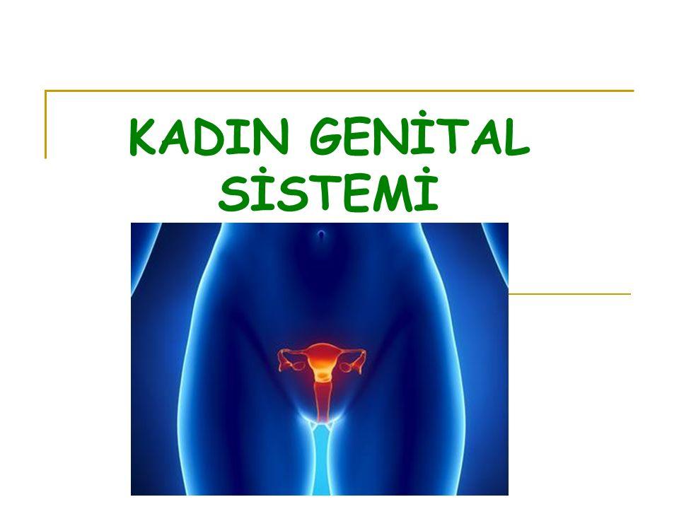 BULBUS VESTIBULI Vestibulum vaginanın iki yanında yerleşmiş 2.5 cm uzunluğunda, bir çift erektil doku kitlesi olup erkekteki corpus spangiosum penis'in karşılığıdır.