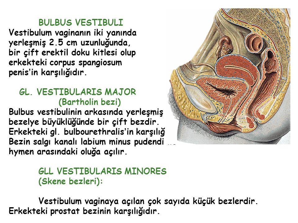 BULBUS VESTIBULI Vestibulum vaginanın iki yanında yerleşmiş 2.5 cm uzunluğunda, bir çift erektil doku kitlesi olup erkekteki corpus spangiosum penis'i
