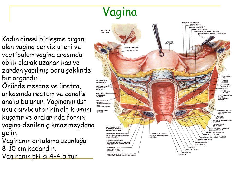 Vagina Kadın cinsel birleşme organı olan vagina cervix uteri ve vestibulum vagina arasında oblik olarak uzanan kas ve zardan yapılmış boru şeklinde bi