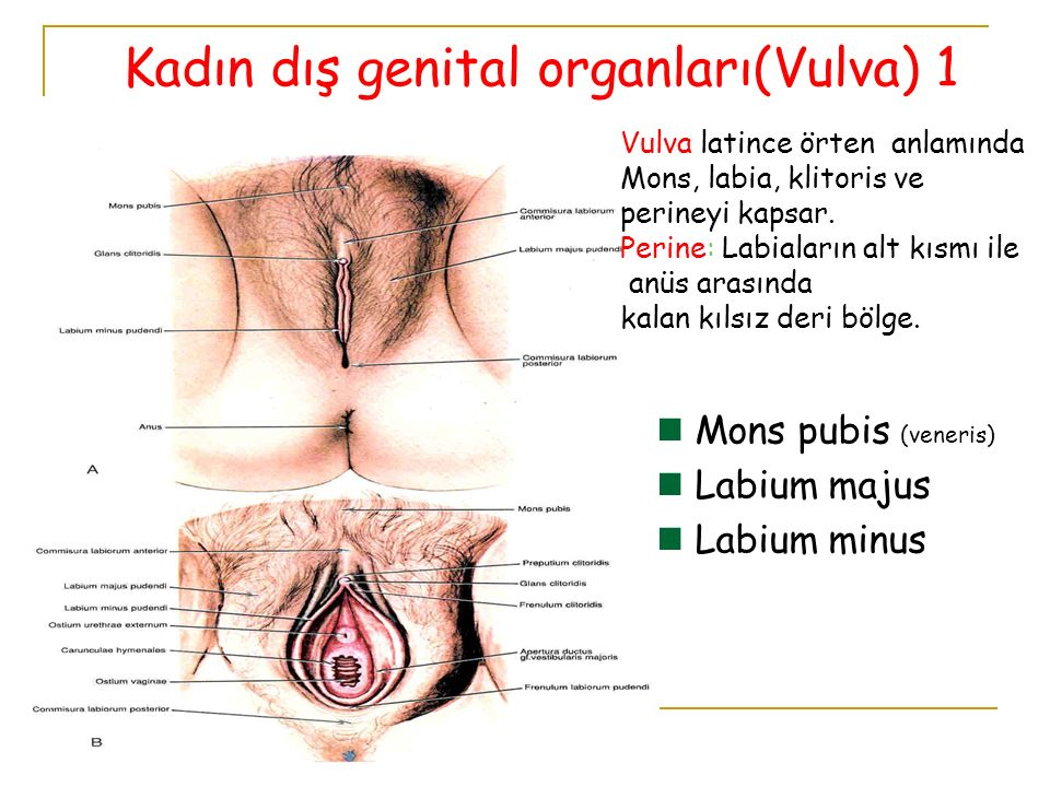 Mons pubis (veneris) Labium majus Labium minus Kadın dış genital organları(Vulva) 1 Vulva latince örten anlamında Mons, labia, klitoris ve perineyi ka