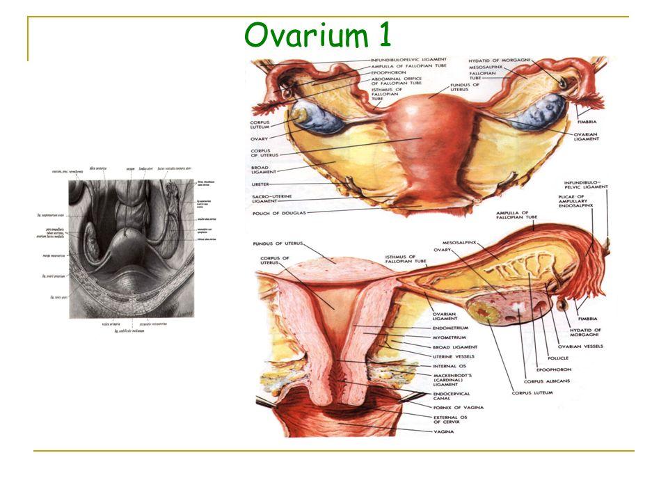 Ovarium 1