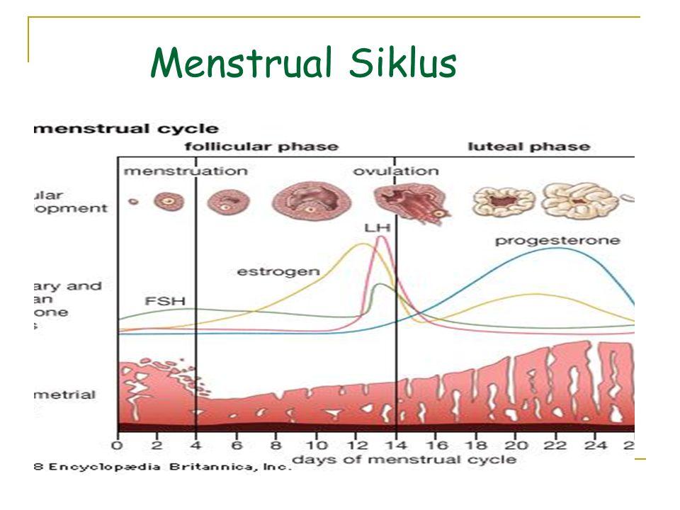 Menstrual Siklus
